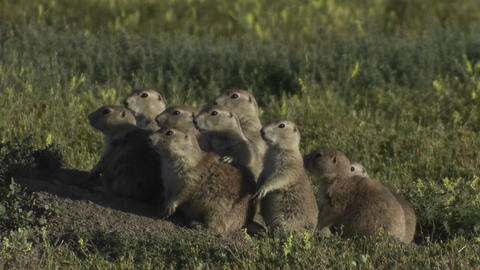 Uinta ground squirrels peer from their ground nest Stock Video Footage