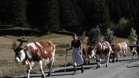 Tyrollean cattle decorated walk up a road in the A Stock Video Footage