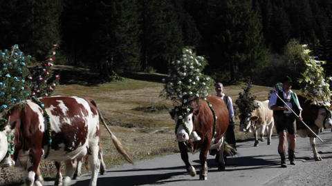 Tyrollean cattle decorated walk up a road in the A Footage