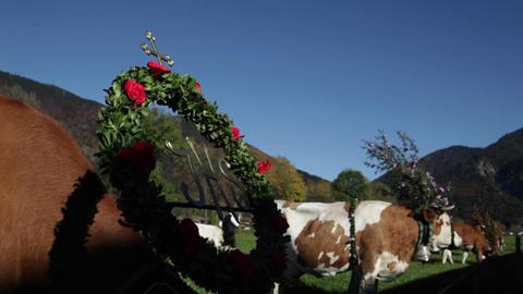 Tyrollean cattle graze in a field in the Alps bede Stock Video Footage