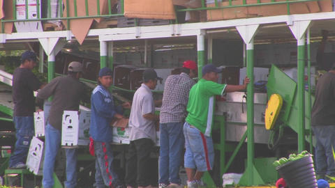 Mexican farm workers carry produce to a machine fo Footage
