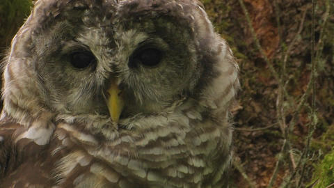 A spotted owl rests on a tree covered in moss Footage