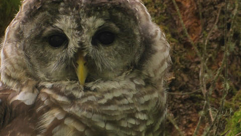 A spotted owl rests on a tree covered in moss Stock Video Footage