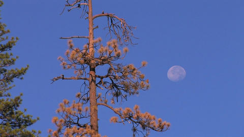 A dry pine-tree and the moon at day Stock Video Footage
