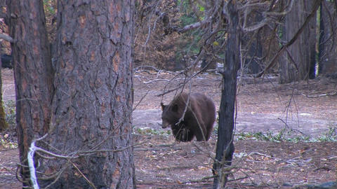 A tagged brown bear searches for food Footage