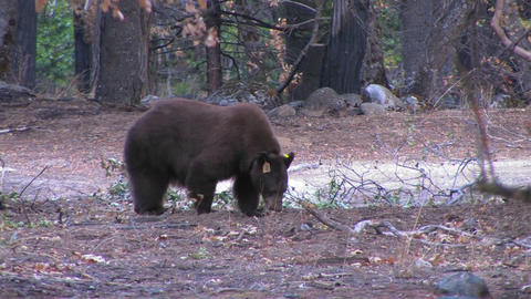 A tagged brown bear searches for food Stock Video Footage