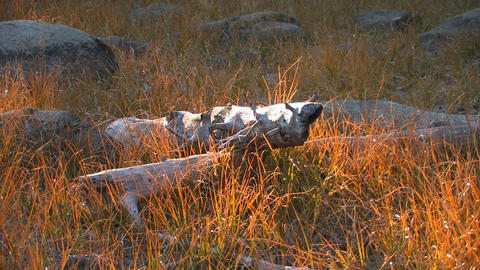 Old logs lay in a field at Tuolumne Meadows in Yos Stock Video Footage