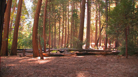 Tall trees stretch towards the sky in Yosemite Nat Stock Video Footage