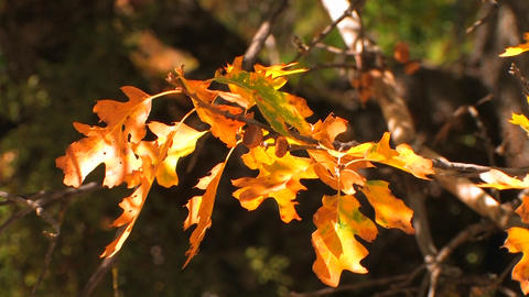 Autumn leaves from an oak tree shine in the sun Stock Video Footage