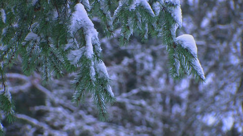 Pine needles covered in snow Footage