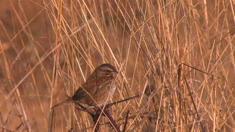A small brown bird sits in a field at day Stock Video Footage