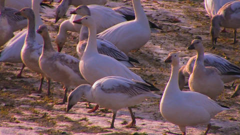 A flock of birds walk on soft ground Footage
