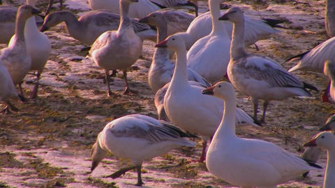 A flock of birds walk on soft ground Stock Video Footage