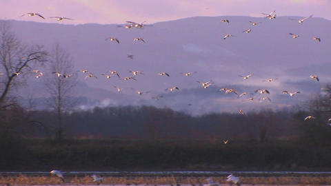 White birds fly over water and mountains Footage