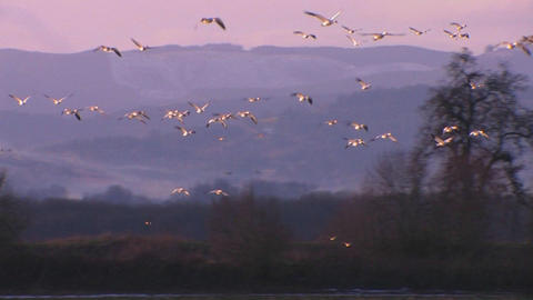 White birds fly over water and mountains Stock Video Footage