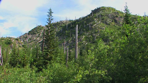 Bare evergreen trees remain on a hillside after de Footage
