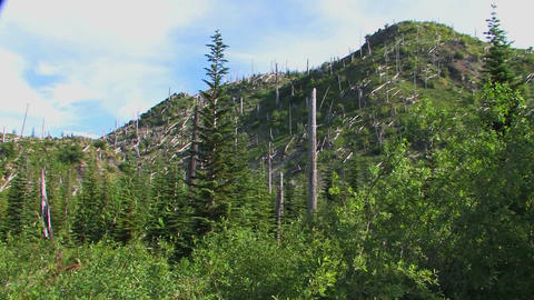 Bare evergreen trees remain on a hillside after de Stock Video Footage