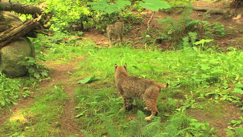 bobcats pass one another Stock Video Footage