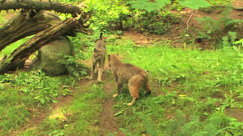 bobcats pass one another Footage