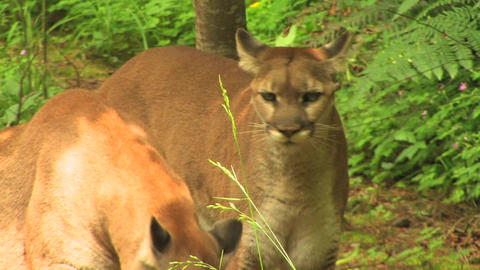 Mountain Lions at day Footage