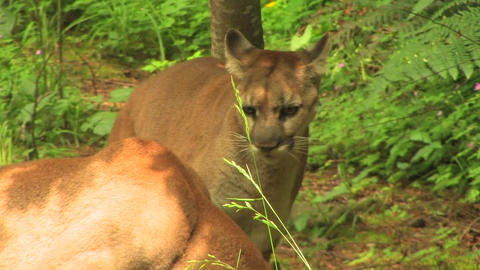 Mountain Lions at day Stock Video Footage