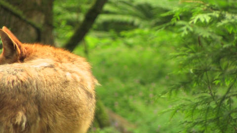 A coyote stands in a forest at day. coyote forest  Footage