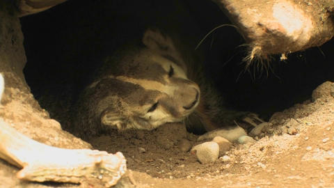 A badger rests in its burrow at day Footage