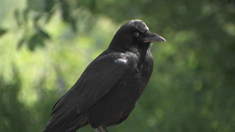 A black bird at day Footage