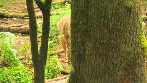 A coyote in a forest at day Footage