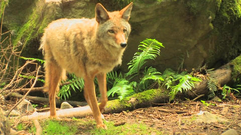 A coyote in a forest at day Stock Video Footage