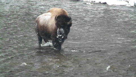 A buffalo walks across a river in the snow in Yell Stock Video Footage