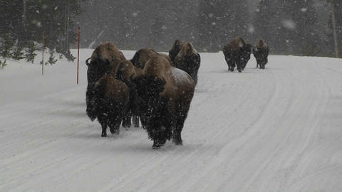 Buffalo walk down a road in heavy snow in Yellowst Footage