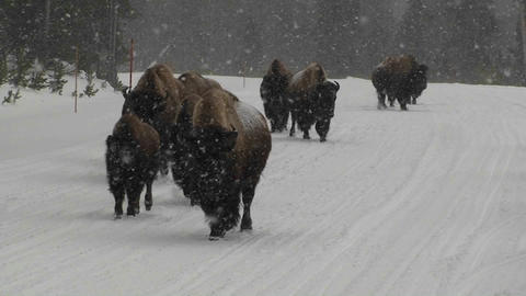 Buffalo walk down a road in heavy snow in Yellowst Stock Video Footage