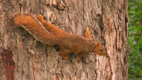 A squirrel grips the bark of tree trunk Stock Video Footage