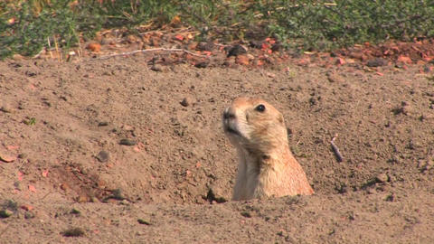 A prairie dog peers out of his hole in the ground Stock Video Footage