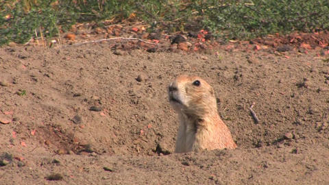 A prairie dog peers out of his hole in the ground Footage