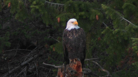 An American bald eagle sits on a tree branch Stock Video Footage