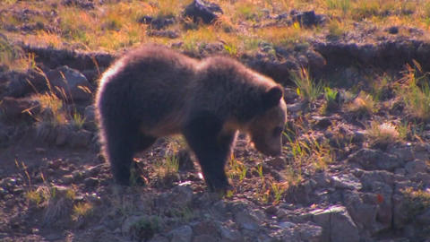A young bear cub walks along a hillside Stock Video Footage