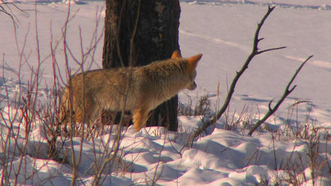 A fox looks alertly at his prey Stock Video Footage