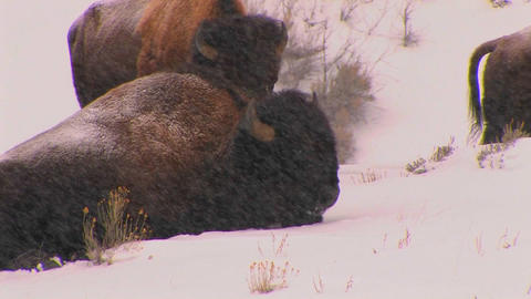 Buffalo lie down in a driving snow in Yellowstone Stock Video Footage