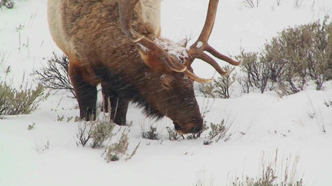 A large male elk grazes in the snow Footage