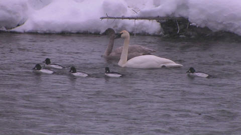 Ducks swim in a freezing river during a snowstorm Stock Video Footage