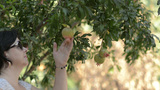 Woman Agronomist Working In Pomegranates Garden stock footage