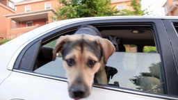 Dogs in Car Stock Video Footage