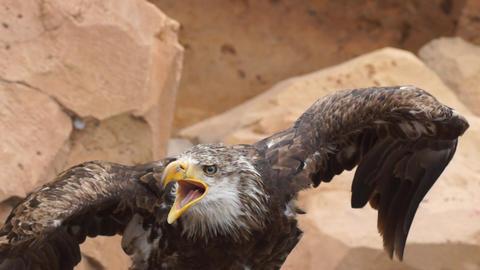 Eagle Footage