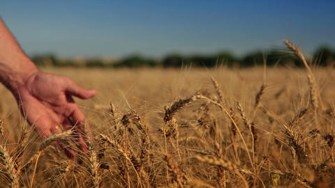 Wheat and man's hand Stock Video Footage