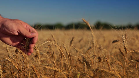 Wheat and man's hand Footage