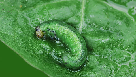 Larva on a leaf Stock Video Footage