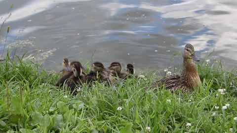 Duck with ducklings 4 Stock Video Footage