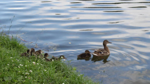 Duck with ducklings 2 Footage